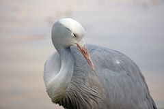 Close up of a blue crane. Grus paradisea - in Sun City, South Africa stock photography