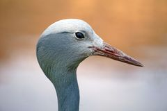 Close up of a blue crane. Head shot of a Blue crane - Grus paradisea - in Sun City, South Africa stock photo