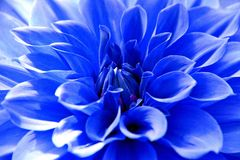Close up of Blue dahlia flower