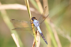Close-up of blue dragonfly Stock Image