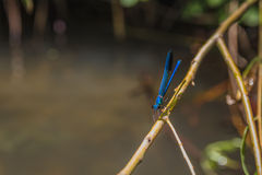 Close up of blue dragonfly on a branch Stock Photography