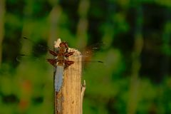 Close-up of a blue dragonfly sitting on a pole, view from the back - Anisoptera. Close up of a blue dragonfly sitting on a wood pole, view from the back with royalty free stock photos