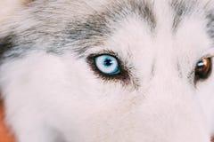 Close Up On Blue Eye Of A Husky Puppy Dog Stock Image