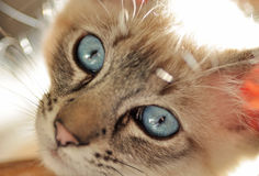Close Up Blue Eyed Lynx Point Siamese Kitten. Lynx (tabby) Seal point siamese kitten backlit from the sun giving her a beautiful light glow around her Royalty Free Stock Images