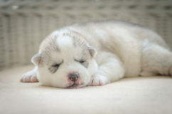 Close up blue eyes of cute puppy Royalty Free Stock Photography