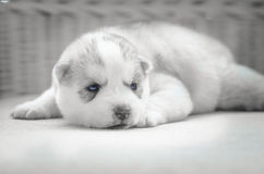 Close up blue eyes of cute puppy Stock Photography