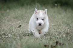 Close up blue eyes of cute puppy Royalty Free Stock Photos