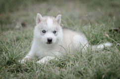 Close up blue eyes of cute puppy Stock Image