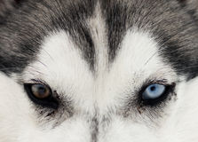 Close up on blue eyes of a dog Royalty Free Stock Images