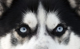 Close up on blue eyes of a dog Stock Images