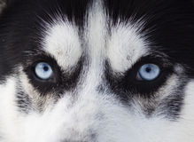 Close up on blue eyes of a dog Royalty Free Stock Photos