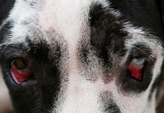 Close up on blue eyes of a dog. Royalty Free Stock Photography