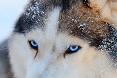 Close up on blue eyes of a husky dog black and white color. Winter view. Royalty Free Stock Photo