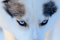 Close up on blue eyes of a husky dog black and white color. Winter view. Royalty Free Stock Image