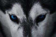 Close up on blue eyes of a husky dog Stock Photos