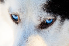 Close up on blue eyes of a husky dog in winter. Royalty Free Stock Photography