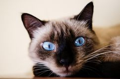 Close up of blue eyes kitten Royalty Free Stock Photos