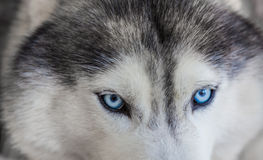 Close up on blue eyes Stock Photography