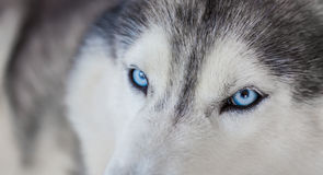 Close up on blue eyes Royalty Free Stock Photo