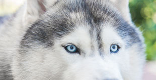 Close up on blue eyes Stock Images