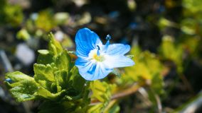 Close up of blue flower on the field at the spring. Close blue flower field spring stock images