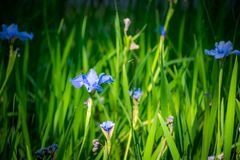 Close up blue flower on grass field. royalty free stock image