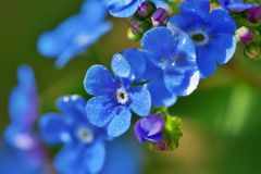 Close-up blue flower Stock Photo