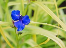Close up on blue flower of tradescanita royalty free stock image