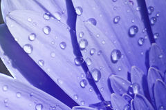 Close-up of a blue flower with water drops. Close-up of a gerbera with water drops royalty free stock image