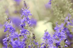 Blue flowers with blurred background royalty free stock image