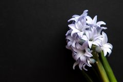 Close Up Of Blue Flowers Of Hyacinths - Top View Lay Flat With Copy Space On Dark Background