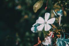 Close up blue flowers of plumbago auriculata stock image