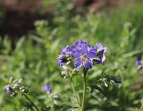 Close up of the blue flowers of an Polemonium plant, also known as Jacob`s-ladder or Greek valerian ,Polemoniaceae royalty free stock images