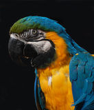 Close-up of a blue and gold Macaw Royalty Free Stock Photo