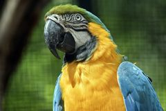 Blue and gold macaw. This is a close up of a blue and gold macaw Royalty Free Stock Image