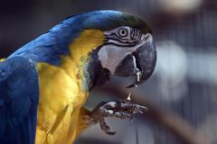 Blue and gold macaw. This is a close up of a blue and gold macaw Stock Image