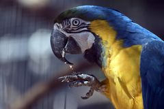 Blue and gold macaw. This is a close up of a blue and gold macaw Royalty Free Stock Photos