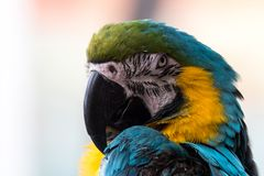 Close-Up of the Blue and Gold Macaw stock images