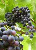 Close Up of Blue Grape Cluster on Vine Plant Stock Photo