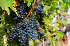 Close up of blue grapes Royalty Free Stock Photo