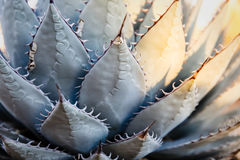 Close up of blue-green agave plant with long thorns with some leaves highlighted in sunshine Stock Images