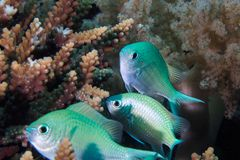 Close up of Blue-green Chromis fish royalty free stock photography
