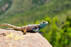 Close-up of blue headed lizard Royalty Free Stock Photo