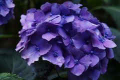 Close up of blue hortensia flower in garden Royalty Free Stock Image