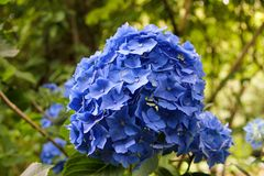 Blue Hydrangea in full bloom. Close up of a Blue Hydrangea in full bloom in an English summer garden royalty free stock photography