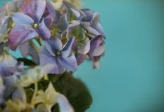Close-up of a blue hydrangea plant. Over blue in retro style Stock Photos