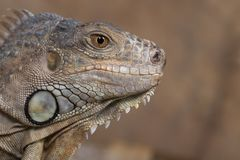 Close up of a Blue Iguana stock images