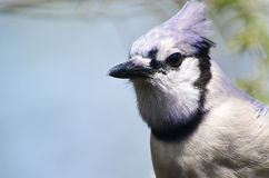 Close Up of a Blue Jay Royalty Free Stock Images