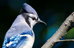 Close Up of a Blue Jay Royalty Free Stock Photos