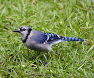 Close Up of Blue Jay Royalty Free Stock Images